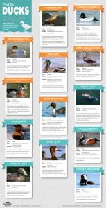 DuckSpeciesInfographic-153x300 Wildlife Facts: Ducks