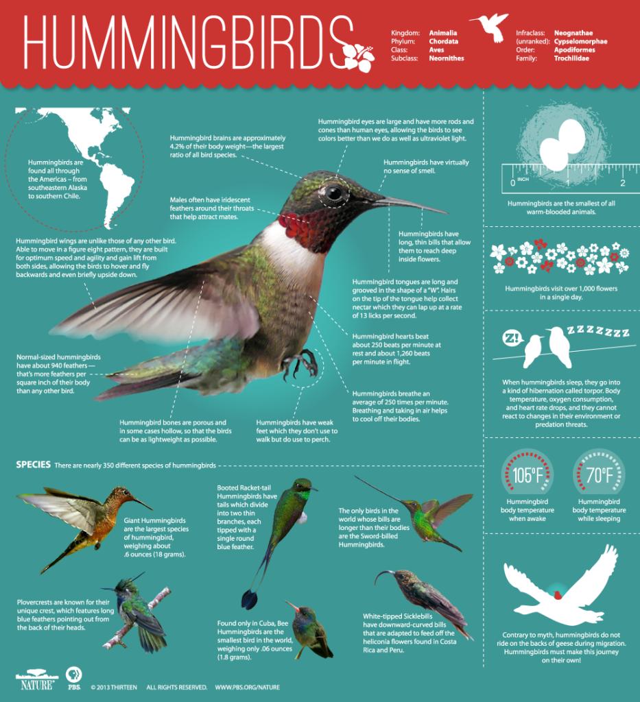Hummingbird-Infographic1-933x1024 Wildlife Facts: Hummingbirds