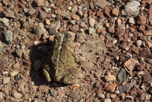 Nature-lover-100812-13865--e1430943494607-300x201 Wildlife Facts: Frogs & Toads