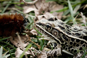 Nature-lover-2008-3358--300x200 Wildlife Facts: Frogs & Toads