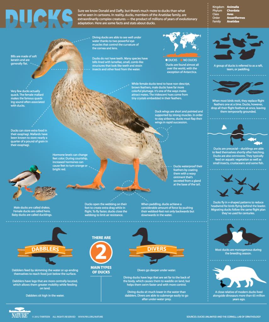 ducks-855x1024 Wildlife Facts: Ducks