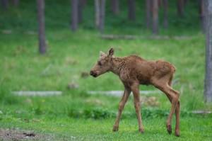hart-760841_1280-300x199 Wildlife Facts: Moose