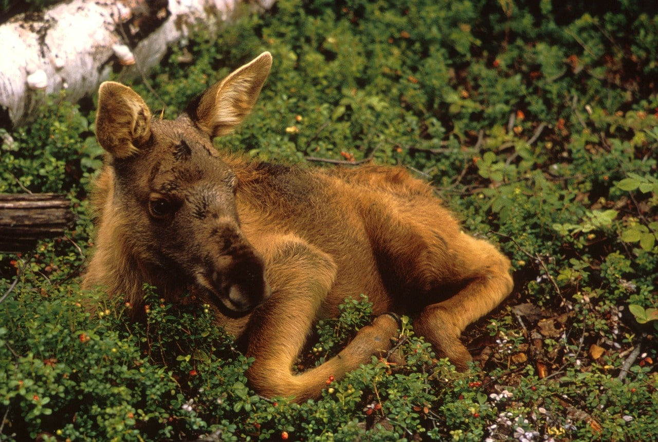 Wildlife Facts Moose