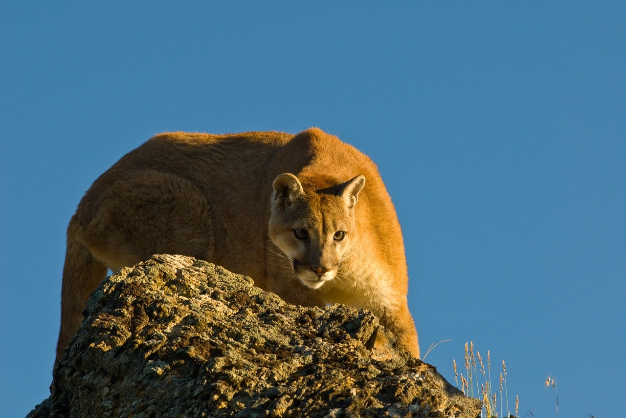 Wildlife Facts: North American Cougar - photo#36