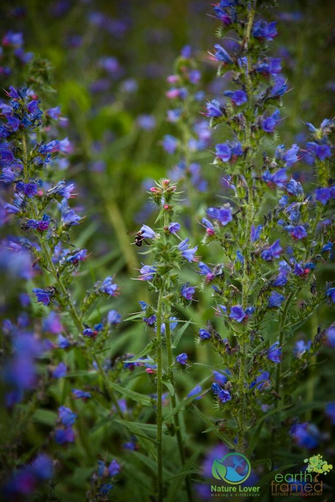 2015-July-03-8531 Wildflowers at Earl Rowe