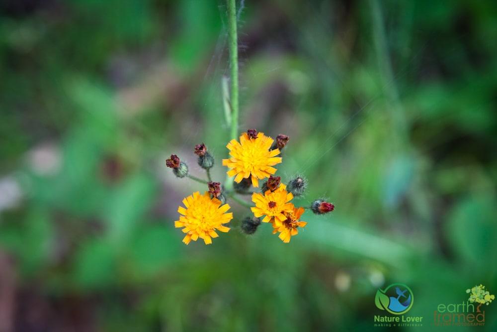 2015-July-05-8657 Summer Wildflowers at Arrowhead