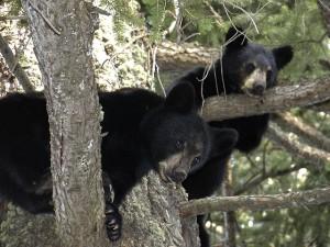 bear-cubs-50137_640-300x225 Understanding Black Bear Behaviour
