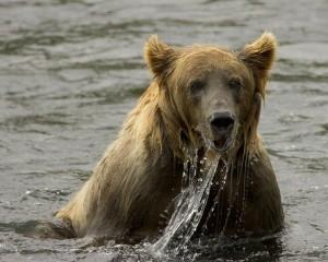 brown-bear-599824_1280-300x240 Understanding Black Bear Behaviour