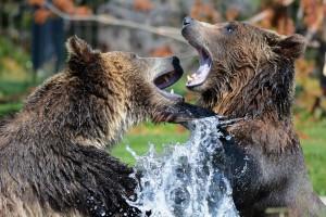 grizzly-210996_1280-300x200 Understanding Black Bear Behaviour