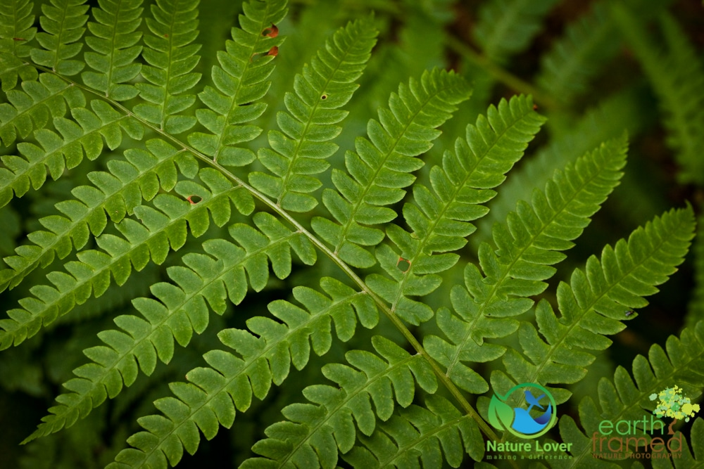 2015-July-09-92741 Summer Flowers and Ferns at Restoule