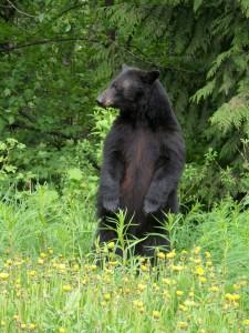 bear-432925_1920-225x300 Understanding Black Bear Behaviour