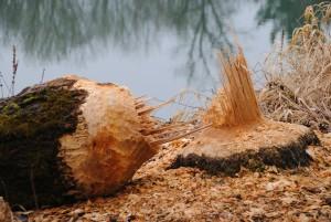 beaver-249277_1280-300x201 Wildlife Facts: North American Beaver