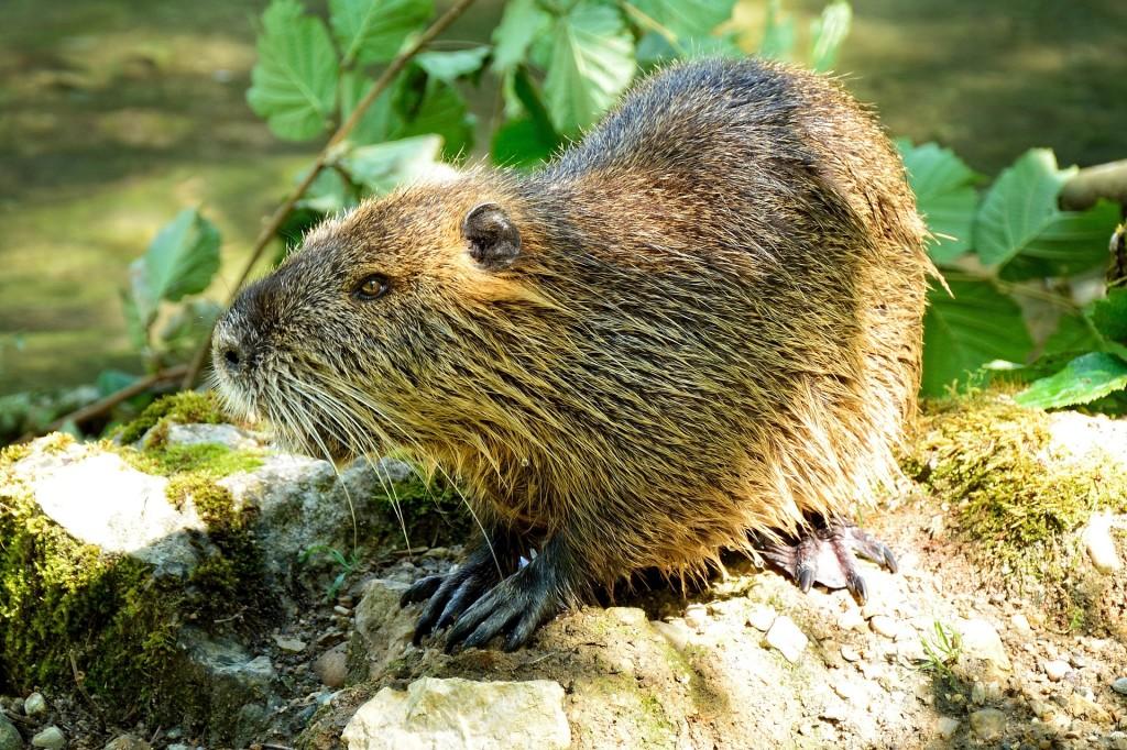 beaver-862600_19201-1024x682 Wildlife Facts: North American Beaver
