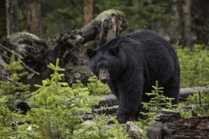 black-bear-1170229_19201-300x200 Understanding Black Bear Behaviour