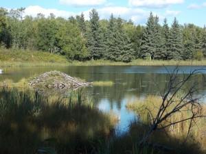 lake-458532_1920-300x225 Wildlife Facts: North American Beaver