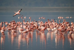 flamingos-1099071_1920-300x201 A Group of Flamingos