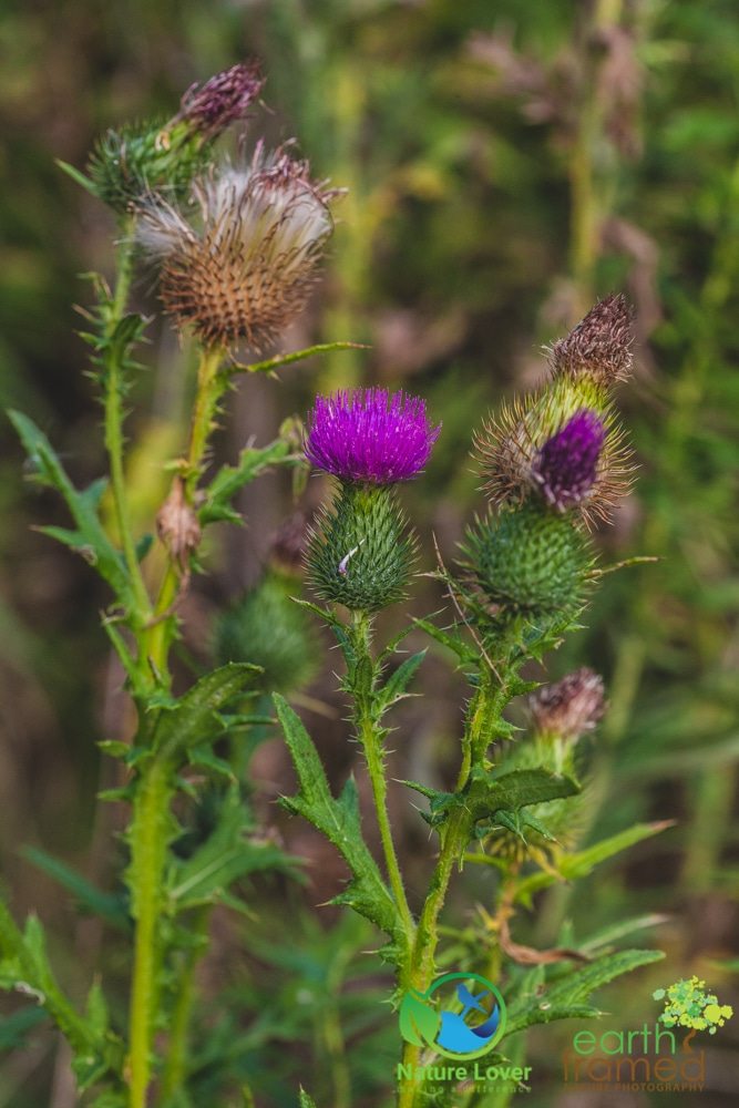 2015-August-27-2841 Summer Wildflowers at Bridgeview Conservation Area