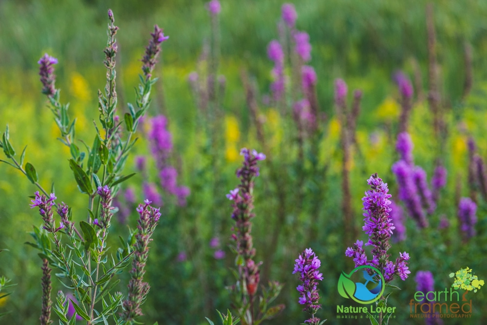 2015-August-27-2847 Summer Wildflowers at Bridgeview Conservation Area