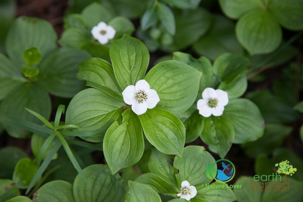 2015-July-16-9795 Halfway Lake Wildflowers and Plants