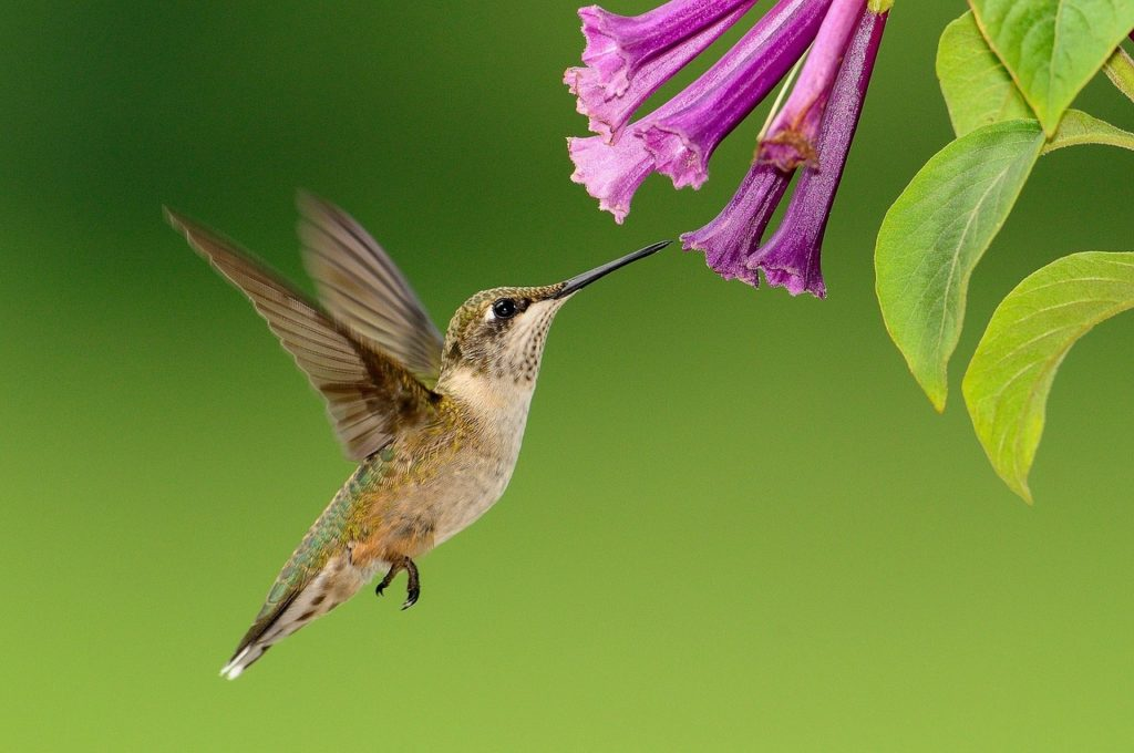 hummingbird-1056383_1280-1024x680 Wildlife Facts: Hummingbirds