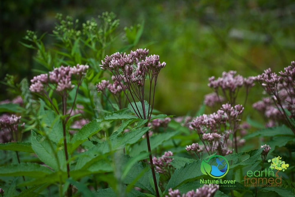 Nature-Lover-2015-Camping-Summer-Transition-Trail-Wildflower-Windy-Lake-Provincial-Park_0101 Windy Lake Wildflowers and Plants