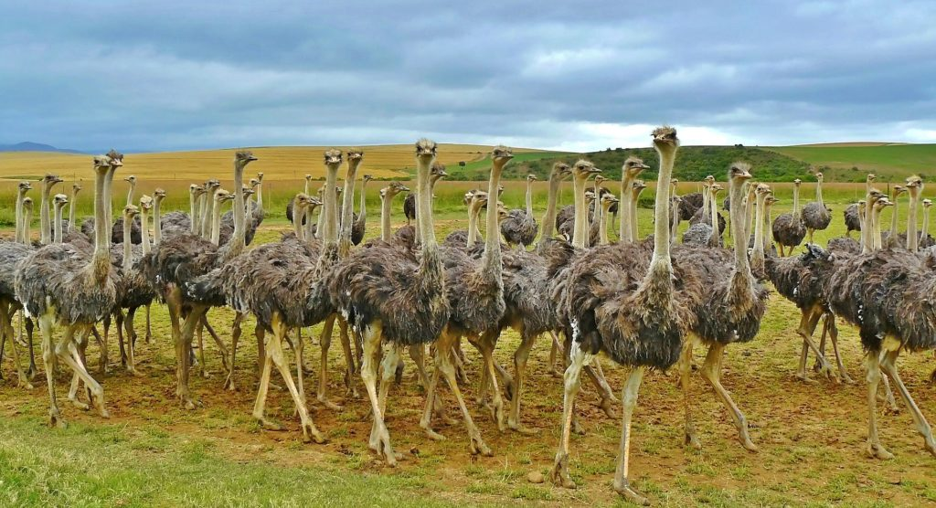 ostriches-838976_1920-1024x556 What Is The Largest Bird on Earth?