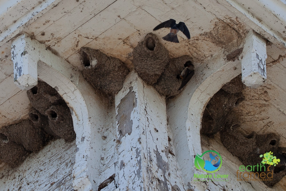 Nature-Lover-2016-Barn-Swallow-Lighthouse-Prince-Edward-Point-National-Wildlife-Area-Summer_9512_Jul-11 Wildlife Spotted at Prince Edward Point National Wildlife Area