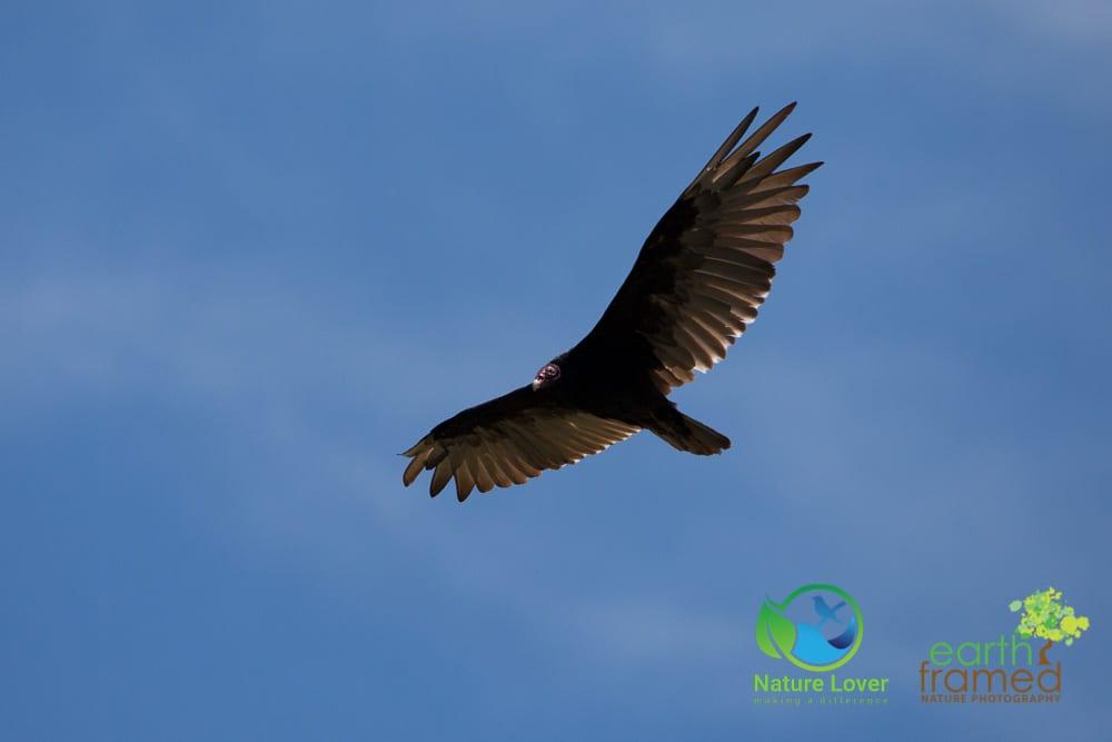 Nature-Lover-2016-Bird-Flying-Prince-Edward-Point-National-Wildlife-Area-Summer-Turkey-Vulture_9420_Jul-11 Wildlife Spotted at Prince Edward Point National Wildlife Area