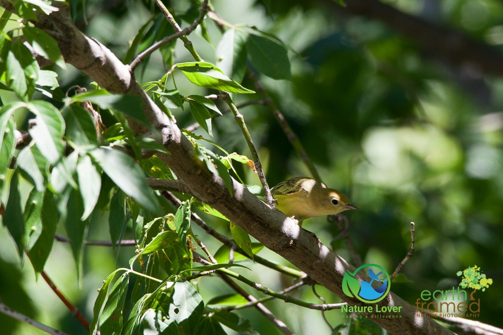 Nature-Lover-2016-Bird-Prince-Edward-Point-National-Wildlife-Area-Summer-Yellow-Warbler_9437_Jul-11 Wildlife Spotted at Prince Edward Point National Wildlife Area