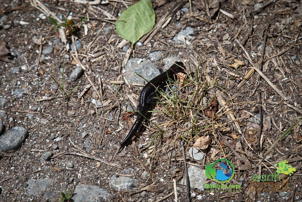Nature-Lover-2016-Blue-spotted-Salamander-Prince-Edward-Point-National-Wildlife-Area-Summer_9550_Jul-11 Wildlife Spotted at Prince Edward Point National Wildlife Area