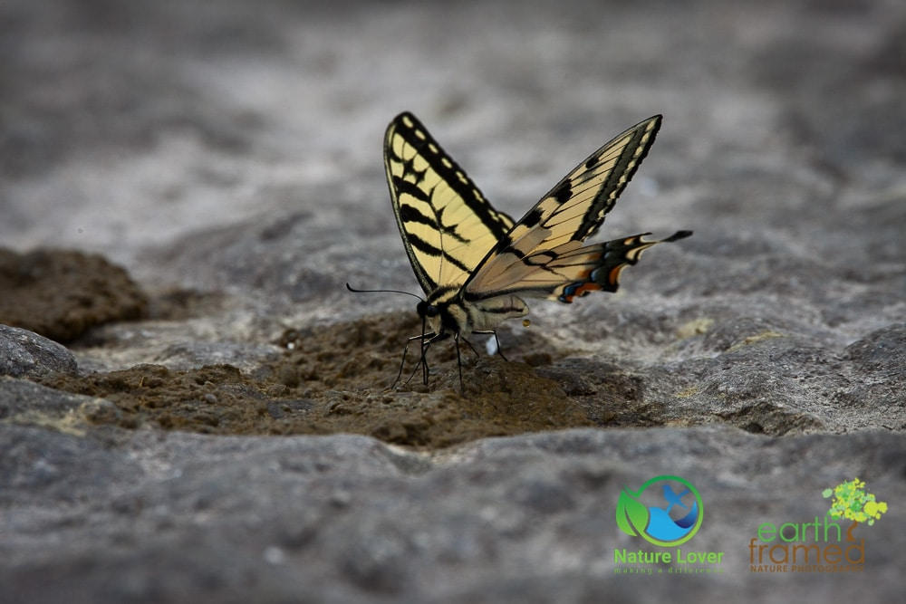 Nature-Lover-2016-Butterfly-Prince-Edward-Point-National-Wildlife-Area-Summer-Swallowtail_9625_Jul-11 Wildlife Spotted at Prince Edward Point National Wildlife Area
