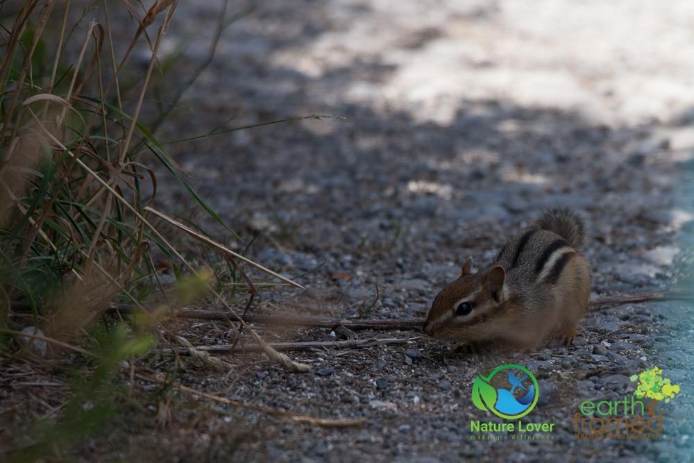 Nature-Lover-2016-Chipmunk-Prince-Edward-Point-National-Wildlife-Area-Summer_9375_Jul-11 Wildlife Spotted at Prince Edward Point National Wildlife Area