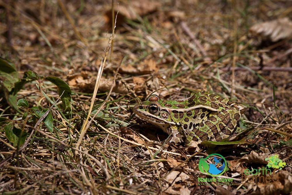 Nature-Lover-2016-Leopard-Frog-Prince-Edward-Point-National-Wildlife-Area-Summer_9485_Jul-11 Wildlife Spotted at Prince Edward Point National Wildlife Area