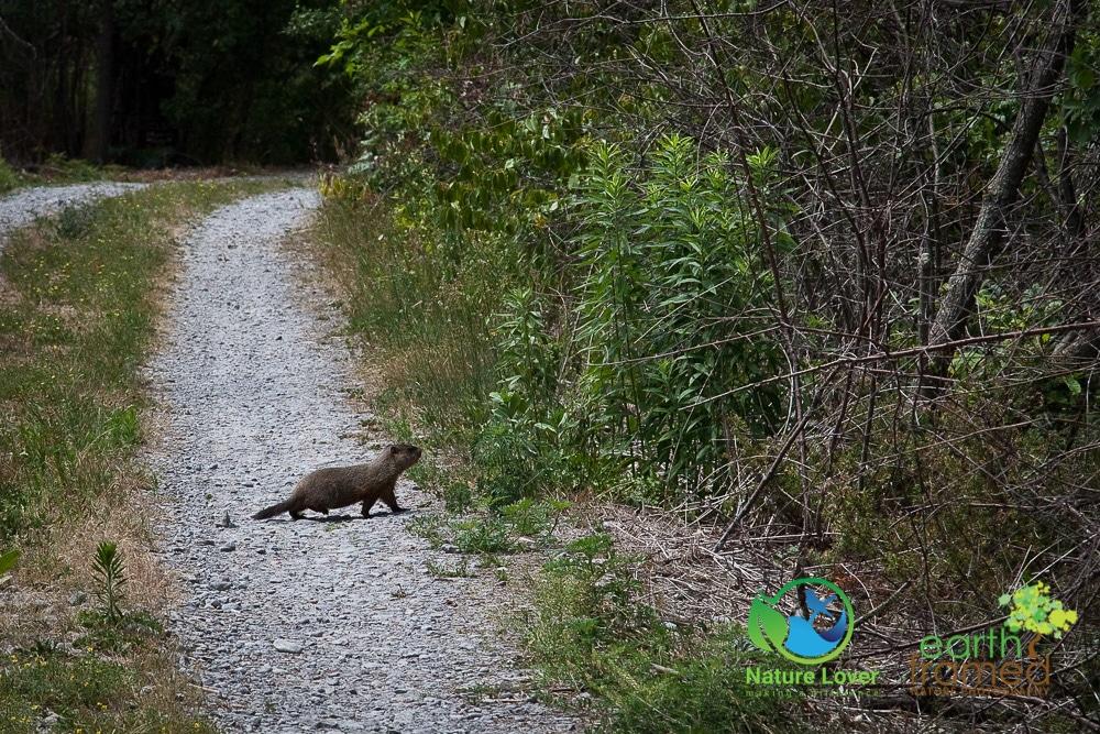 Nature-Lover-2016-groundhog-Juvenile-Prince-Edward-Point-National-Wildlife-Area-Summer-woodchuck_9553_Jul-11 Wildlife Spotted at Prince Edward Point National Wildlife Area