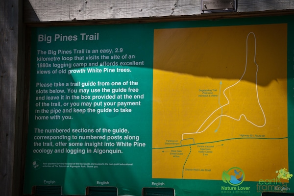 226 Year Old Pines on Algonquin's Big Pines Trail