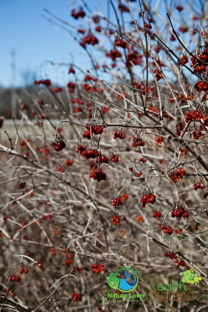 2016-Berries-Bush-Dow-Wetlands-Red-Sarnia-Shrubby-Cinquefoil-Winter-5124 A Winter Walk At Dow Wetlands